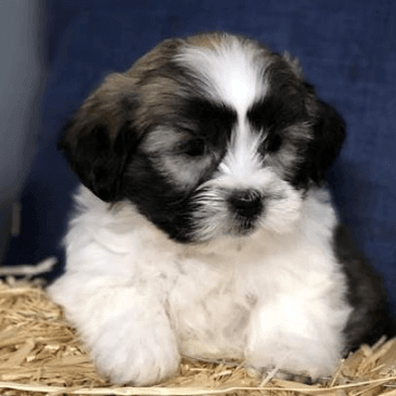 Havatzu puppies for sale