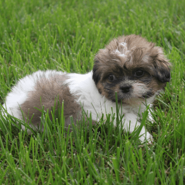 Lhasachon puppies for sale