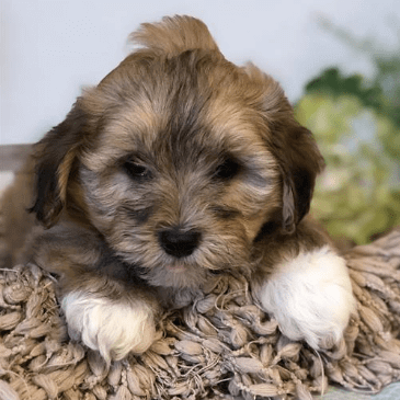 Lhasapoo puppies for sale