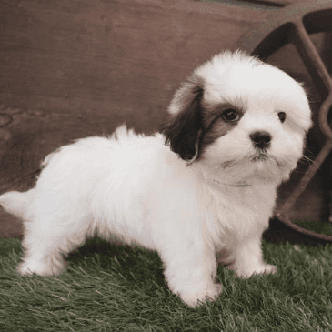 Lhasatzu puppies for sale