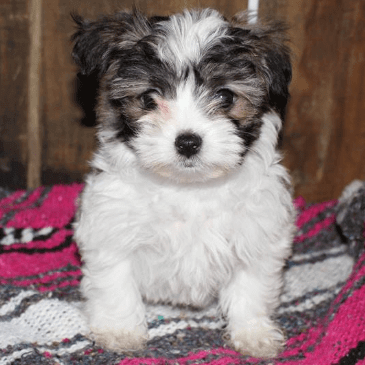 malshipoo puppies for sale
