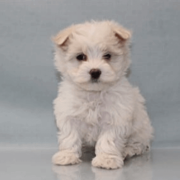 Maltichon puppies for sale
