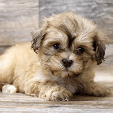 Shiapoo puppies for sale