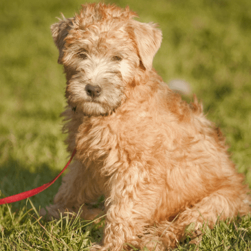 Soft Coated Wheaten puppies for sale