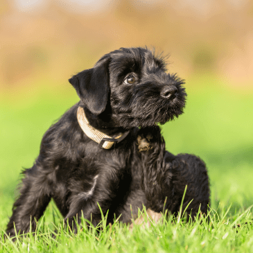 Standard Schnauzer puppies for sale