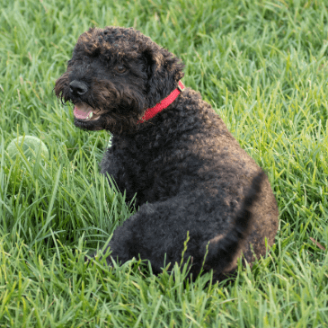 Standard Schnoodle puppies for sale