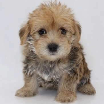 Yochon puppies for sale